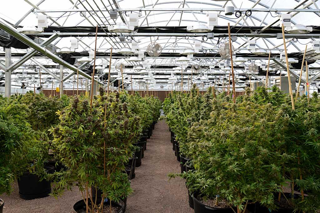 Pueblo West Organic-Cannabis-Cannasseur